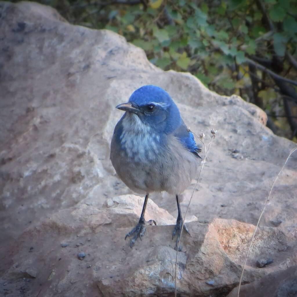 Vihaisennäköinen sininen lintu, Grand Canyon