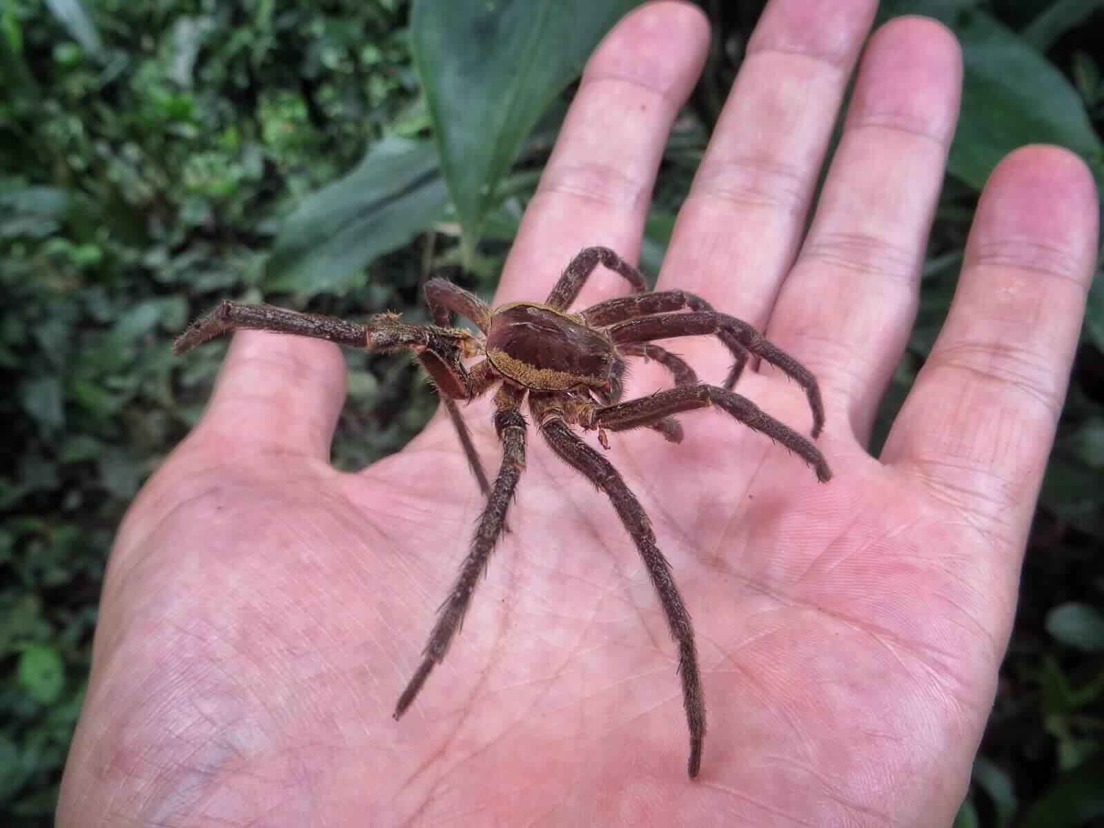Senkin opimme, että hämähäkit luovat nahkansa. Tässä joltain pieneksi jäänyt.