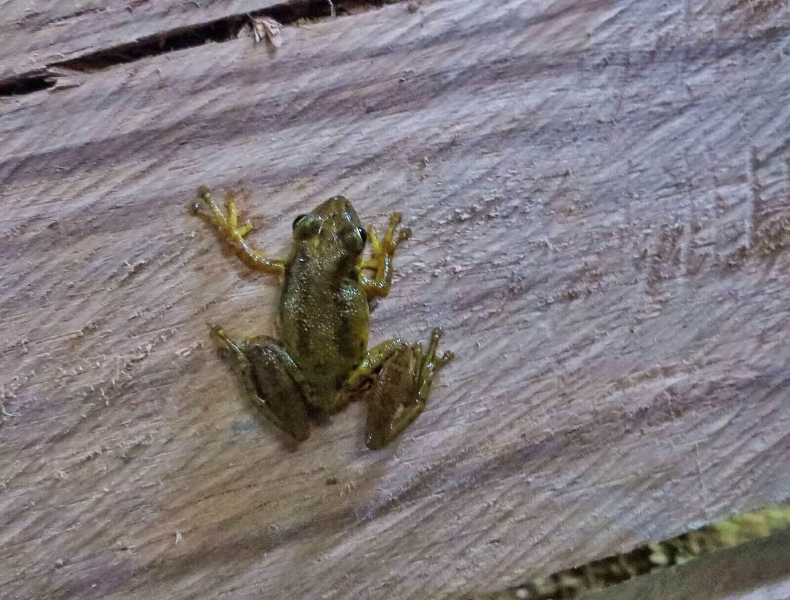 Majamme vessanpöntöstä loikannut sammakko toivotti meidät tervetulleiksi