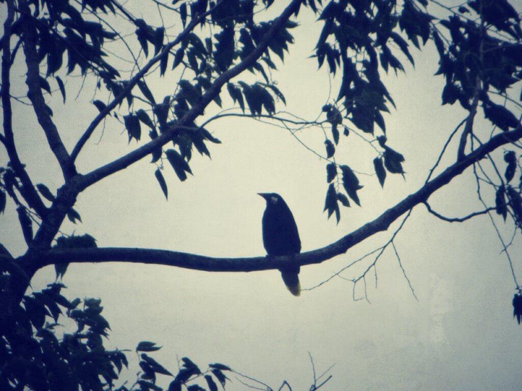 Lintu, El Castillo. (Väittivät tukaaniksi, mutta ei tuolla nokalla. Lienee siis oropendola.)