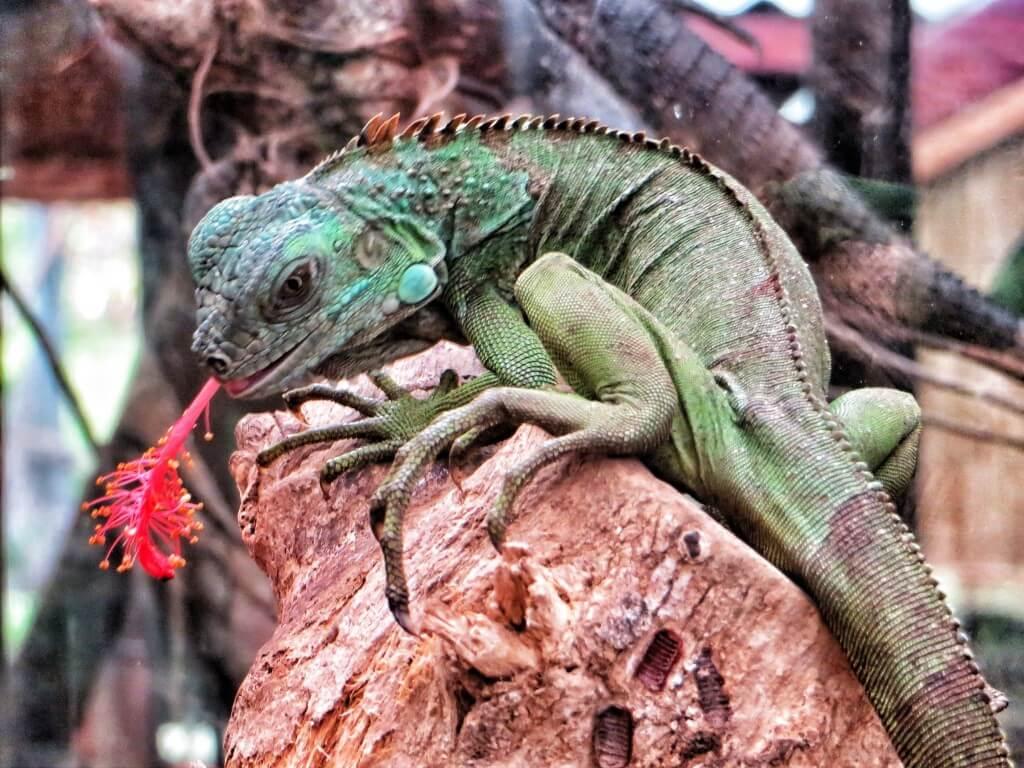 Iguaani syö kukkaa, El Castillo.