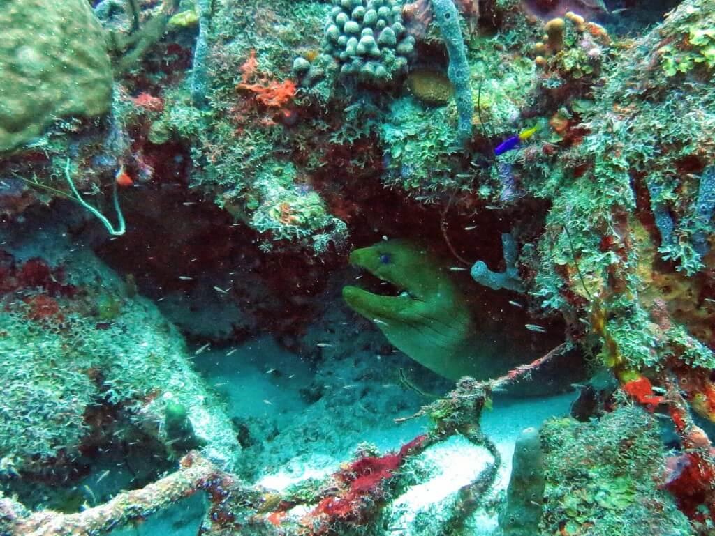 Green Moray Eel.