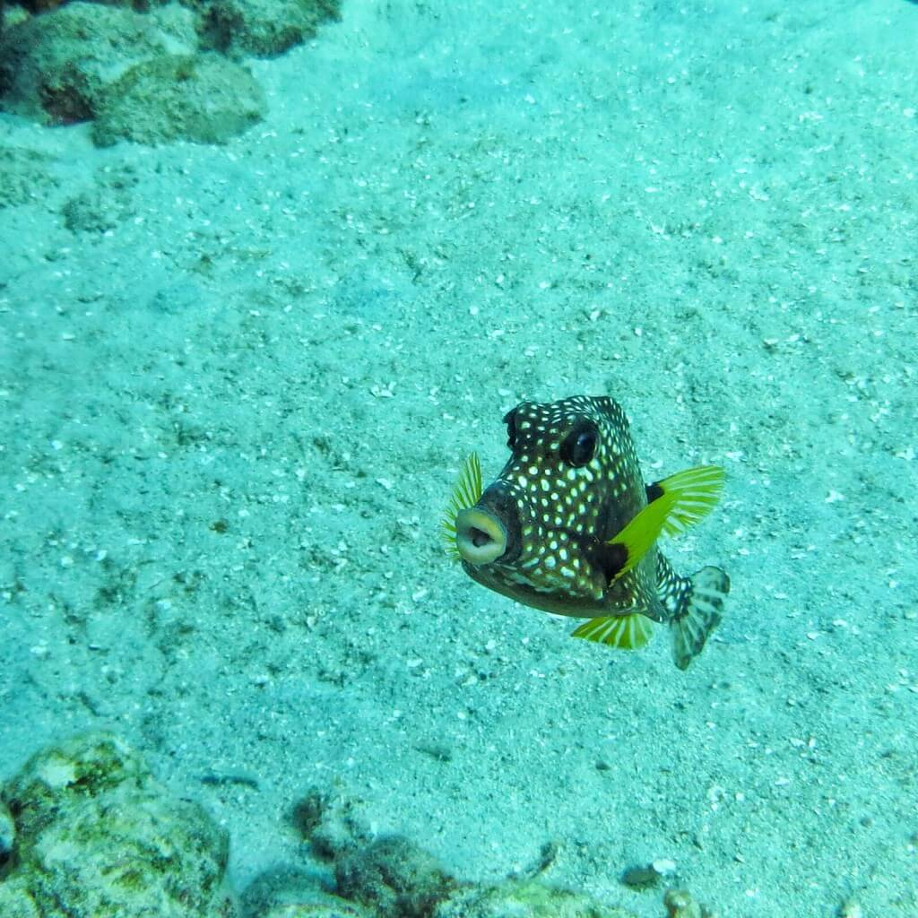 Spotted Trunkfish.