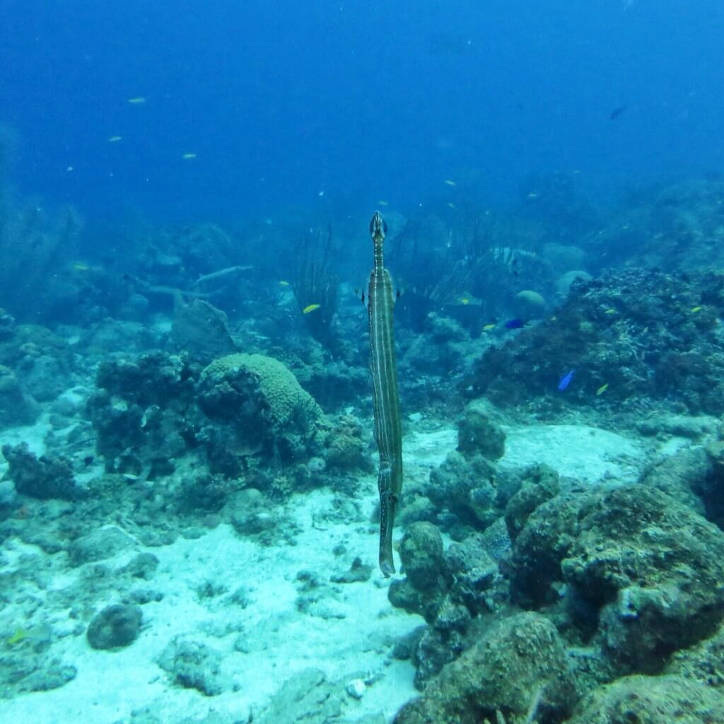 Trumpetfish.
