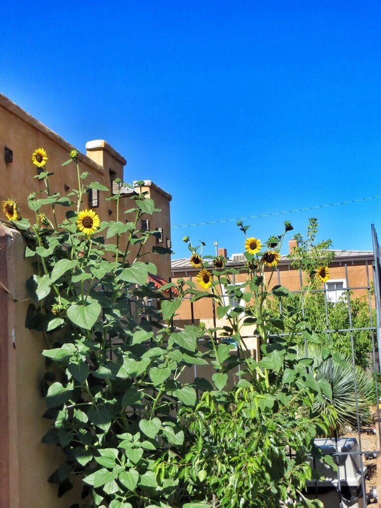 Tällaisia pieniä auringonkukkia kasvaa täällä joka paikassa.