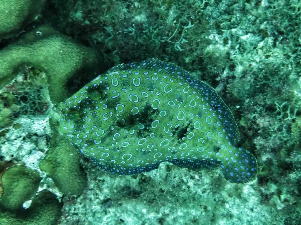 Maculated Flounder. Normaalisti kampeloilla on niin hyvä suojaväritys, että niitä on melkein mahdoton erottaa pohjasta. Tällä kaverilla oli naamiointi unohtunut.