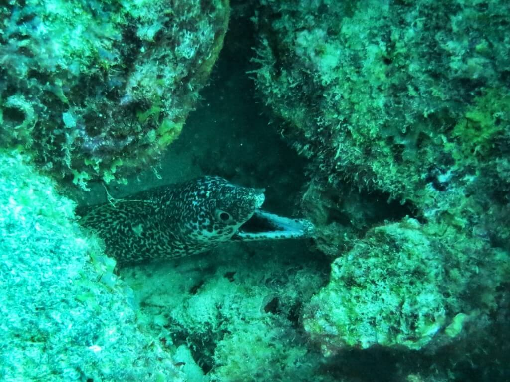 Spotted Moray.